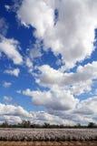 Algodão e céu Fotografia de Stock