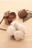 Algodón Foto de archivo libre de regalías