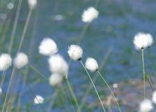 algodón Imagen de archivo