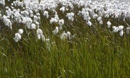 Algodón-hierba ártica en Islandia. Imagen de archivo libre de regalías