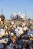 Algodón listo para la cosecha Imagen de archivo libre de regalías