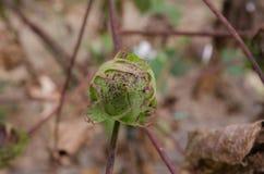 Algodón no maduro Imagen de archivo