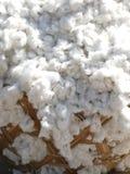 Algodón orgánico Imagenes de archivo