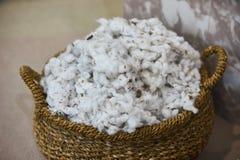Algodón orgánico mullido blanco escogido en la cesta de mimbre, primer foto de archivo