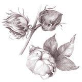 Algodón - plantas del tallo con las vainas de la semilla Foto de archivo