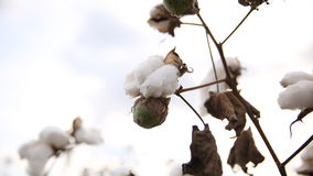 algodón Imágenes de archivo libres de regalías