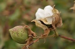Algodón maduro Fotos de archivo