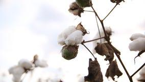 algodão Imagens de Stock Royalty Free