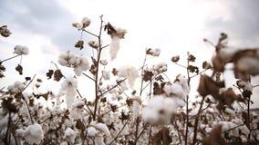algodão Fotografia de Stock Royalty Free