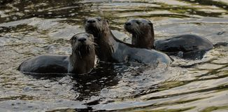 ALGONQUIN PARK OTTER TRIO. ON MIZZY LAKE TRAIL IN THE WATER royalty free stock photos