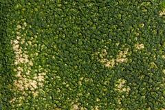 Algtexturbakgrund arkivbild