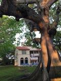 Algträd som är bevuxet i dagsljus fotografering för bildbyråer