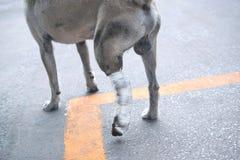 Alguém ajuda muito amável o pé quebrado do cão para o veterinário e a Ta imagem de stock