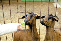Alguém animais de alimentação da mão do ` s no jardim zoológico Fotografia de Stock