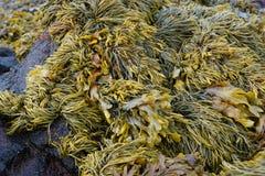 algue images libres de droits