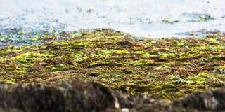 algue Photo libre de droits
