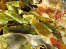 algue de bandes Photographie stock libre de droits
