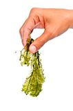 Algue fraîche Photographie stock libre de droits