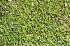 Algue humide sur une surface métallique Photo libre de droits