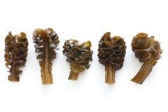 Algue japonaise, mekabu, racine de wakame photo stock