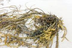 Algue lavée sur une plage Images stock