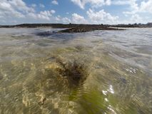 Algue på skinntidvatten Royaltyfria Bilder