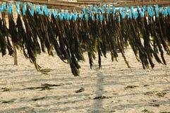 Algue séchant au soleil sur la plage Images libres de droits