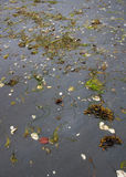 Algue sur Grey Beach avec l'espace de copie Photo stock