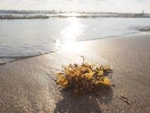 Algue sur la plage de sable avec la lumière de coucher du soleil photos libres de droits