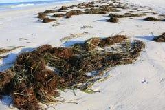 Algue sur le sable blanc en Floride image libre de droits
