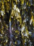 Algue verte avec de l'eau miroitant dans lui Photos stock