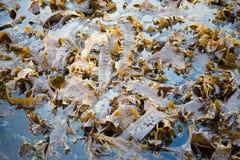 Algues de Laminaria à marée basse Photo stock