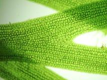 Algues de micro-organisme de bourdonnement photo stock