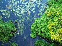 Algues de rivière de forêt Photographie stock
