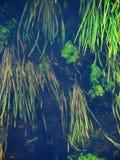 Algues de rivière de forêt Image stock