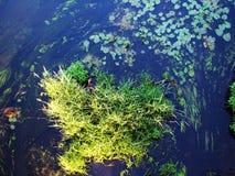Algues de rivière de forêt Photos libres de droits