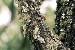 Algues de vue de plan rapproché sur le tronc d'arbre de gomme images stock
