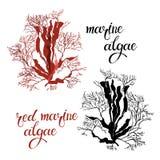 Algues marines rouges Illustration de vecteur sur le fond blanc Deux variantes différentes de couleur Éléments d'isolement pour l illustration libre de droits