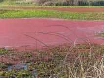 Algues rouges photo libre de droits
