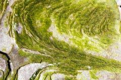 Algues sur la roche Photo stock