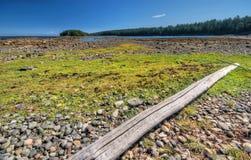 Algues sur le rivage rocheux Image stock