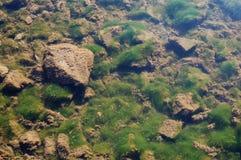 Algues sur les roches Photographie stock libre de droits