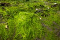 Algues sur une roche Photos libres de droits