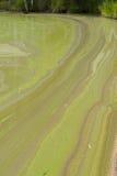 Algues vertes bleues Photographie stock