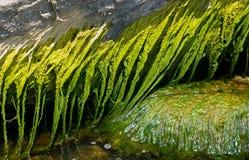 Algues vertes image libre de droits