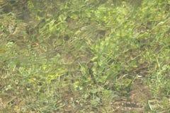 Algues vertes sous l'eau image libre de droits