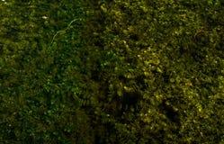 Algues vertes sur la surface d'un lac marécageux Image libre de droits