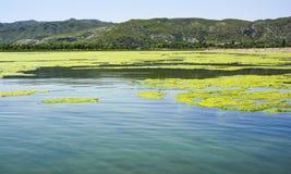 Algues vertes sur la surface du lac Uchali image stock