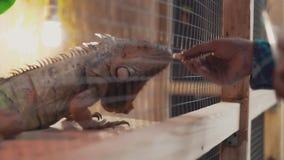 Alguien alimenta una iguana grande del lagarto de la mano almacen de metraje de vídeo