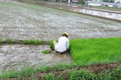 alguien está plantando el arroz en los campos imagen de archivo libre de regalías